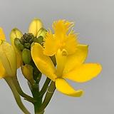 에피덴드로 노랑 