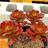 멀티카울립스틱 3-0170 Echeveria multicaulis Lipstick