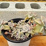 용월 (한몸아닐수있음) 3-0171 Graptopetalum paraguayense