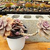 퍼플딜라이트 3-0172 Graptopetalum Purple Delight