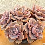 짚시 자연 한몸 3-0175 Graptoveria Mrs. Richards