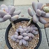 문스톤 30|Pachyphytum Oviferum Moon Stone