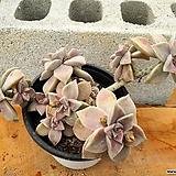 용월 대품 (한몸아닐수있음) 3-0186 Graptopetalum paraguayense