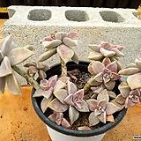용월 대품 (한몸아닐수있음) 3-0187 Graptopetalum paraguayense