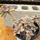 용월 대품 (한몸아닐수있음) 3-0188 Graptopetalum paraguayense