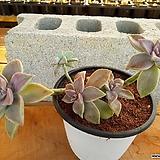 용월 대품 (자연 한몸) 3-0190 Graptopetalum paraguayense