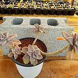 용월 대품 (자연 한몸) 3-0192 Graptopetalum paraguayense