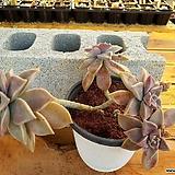 용월 대품 (자연 한몸) 3-0194 Graptopetalum paraguayense