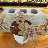 용월 대품 (자연 한몸) 3-0196 Graptopetalum paraguayense