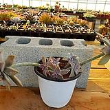 용월 대품 (자연 한몸) 3-0197 Graptopetalum paraguayense