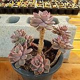 핑크프리티 3-0199 Echeveria Pretty in Pink
