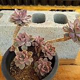 핑크프리티 3-0200 Echeveria Pretty in Pink