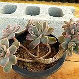 핑크프리티 3-0201 Echeveria Pretty in Pink
