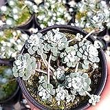 은설바위솔|Sedum spathulifolium