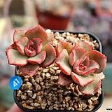 일본 모라니 Echeveria moranii
