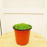 김규리플라워/  깜찍한 꽃에서 은은한 향기가 좋은 이끼식물 모스 (연두색)|Echeveria Mose