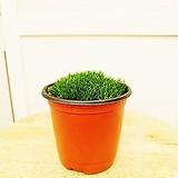 김규리플라워/ 은은한 향기가 나는 깜찍한 꽃이펴요 이끼식물 모스 (초록색)|Echeveria Mose