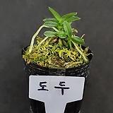 도두/풍란/난/동양란/서양란/식물/난키우기/식물키우기/앤식물원 