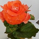 논스톱베고니아(큰꽃) 