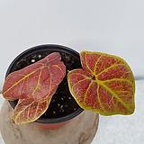 칼리디움(스파이더,희귀식물) Haworthia attenuata