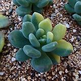 동미인금030804|Pachyveria pachyphytoides Walth