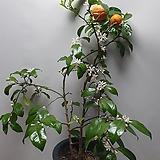 레몬오렌지나무/향기꽃/실물배송 