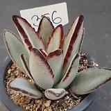 흑토이0308-356|Kalanchoe tomentosa nigromarginatas