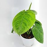 마크로필름 싱고니움 수입식물 공기정화식물 한빛농원 