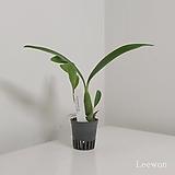 엔시클리아 프리스마토카품(중묘/내년개화) /원종 Enc. prismatocarpum|