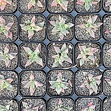 파우카리아금 variegated