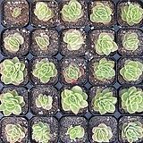 라즈아가금 Echeveria agavoides sp