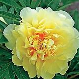 수입꽃작약 유럽수입품(노랑색꽃)
