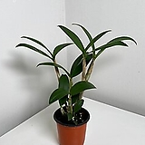 덴드로비움 힐다 폭슨(덴드로비움 대명석곡 x 테트라고늄) Dendrobium Hilda Poxon(Dendrobium speciosum x tetragonum)|