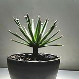 Agave albopilosa(알보필로사)
