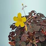 옥살리스 사랑초 노랑꽃 공기정화식물 한빛농원 