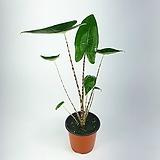 스트로베리스타칼라디움(수입식물) 따뜻하게 키우면 생명력 강해요