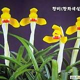 한국춘란 유일 황화색설 황비