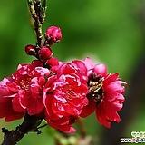 꽃복숭아 남경도 외목수형 화분상품,꽃이 예쁜 관엽식물|