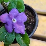 아이비제라늄(보카시) 중품 꽃이 피고지고해요