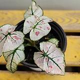 스트로베리스타칼라디움(수입식물) 따뜻하게 키우면 생명력 강해요 Echeveria Strawberry