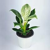 버킨 필로덴드론 10 공기정화식물 한빛농원 