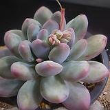 Pachyphytum cv Frevel