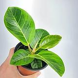 뱅갈고무나무 고무나무 뱅갈 공기정화식물 한빛농원 