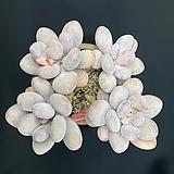 복숭아미인 Pachyphytum cv mombuin