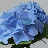 블루스타(신품종 수입수국) 13cm포트 한정판매