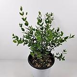 유칼립투스파블로(중품)잎이예뻐요