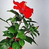 덴마크무궁화 레드 빨강꽃 공기정화식물 한빛농원 