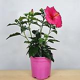 덴마크무궁화 핑크 분홍꽃 공기정화식물 한빛농원 
