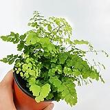 아디안텀 고사리 아디안텀고사리 공기정화식물 한빛농원 