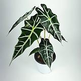 거북알로카시아 알로카시아 아마조니카 공기정화식물 한빛농원 